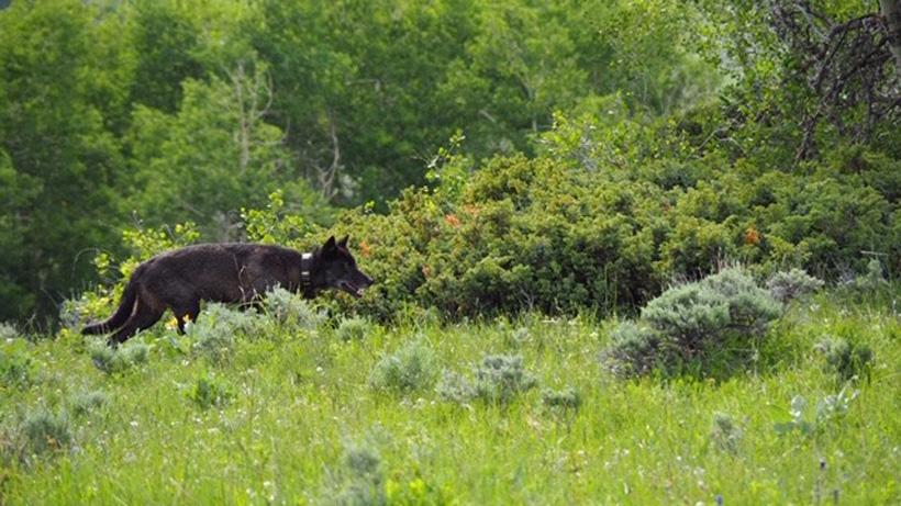 Colorado grey wolf sighting
