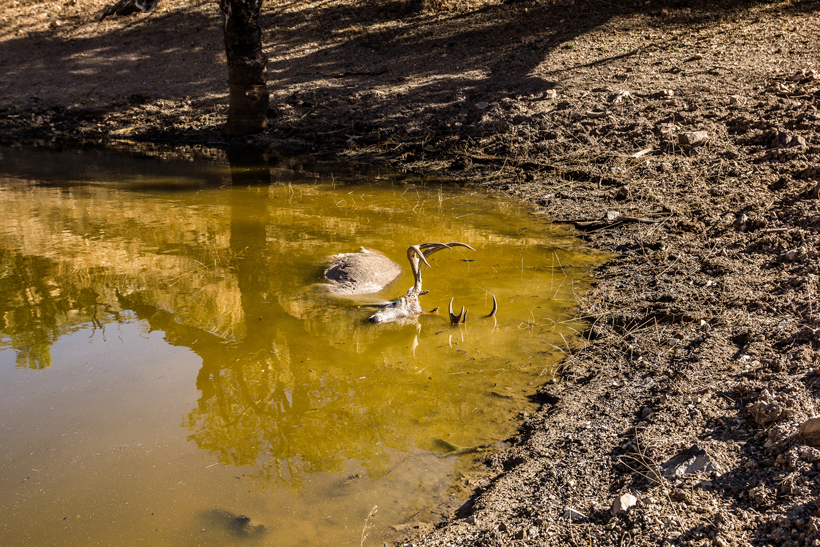 Coues deer fell into pond after the shot