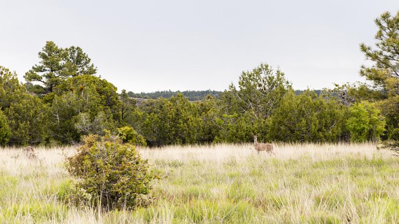 Coues deer in Arizona