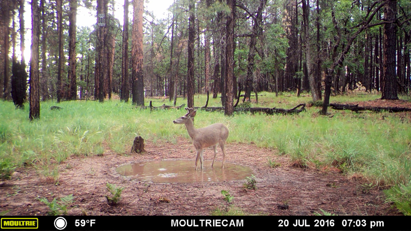 Coues deer in a small water catchment