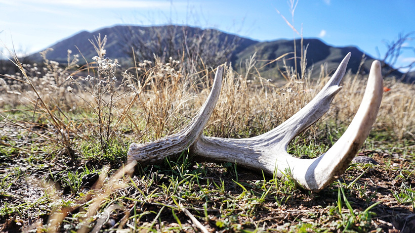 Coues deer shed antler