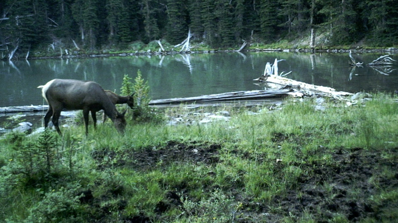 Cow elk feeding on trail camera photo