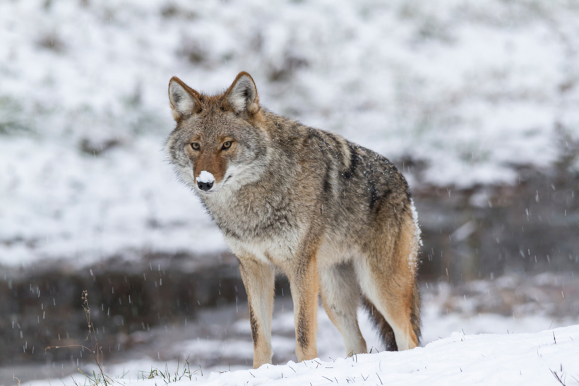 Coyote contest hunting ban