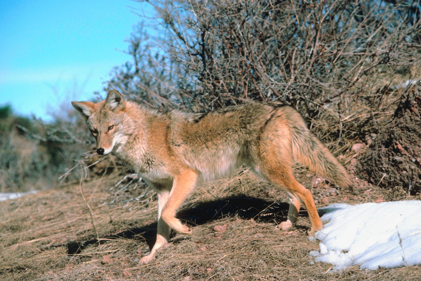 Coyote hunting and trapping ban defeated