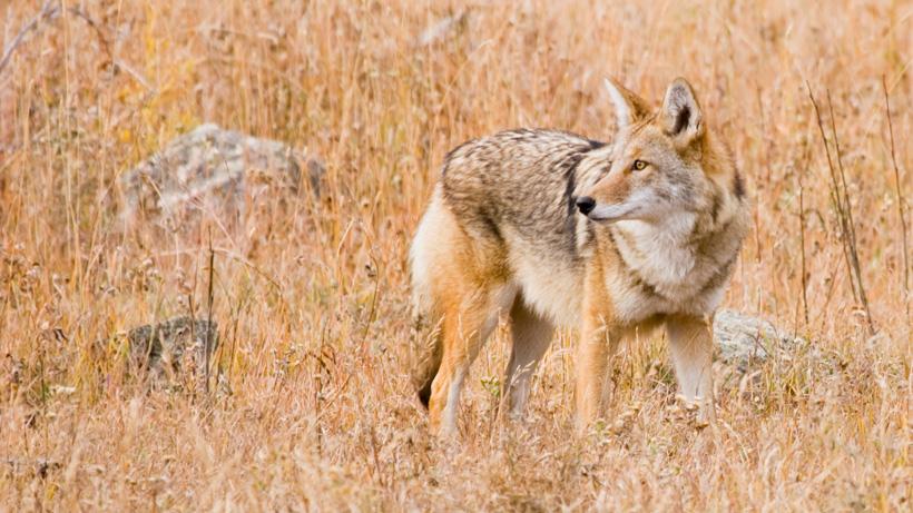 Utah coyote bounty changes