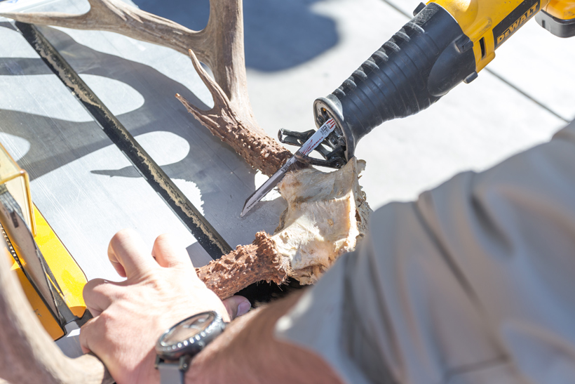 Cutting off antlers