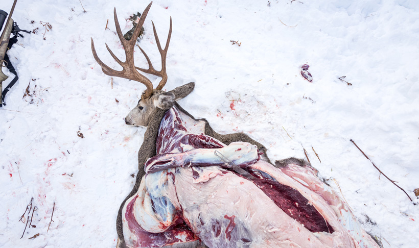 Cutting up mule deer meat in grizzly country