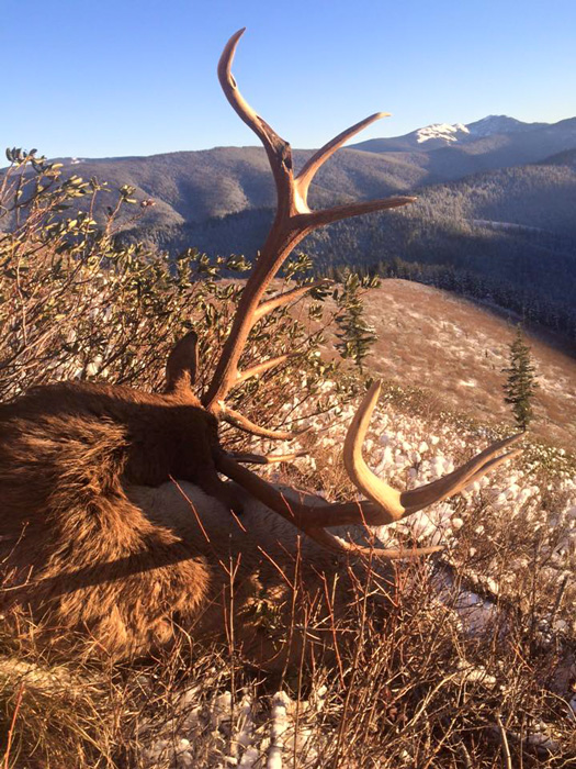 David Zavetsky 2015 Montana bull elk back view