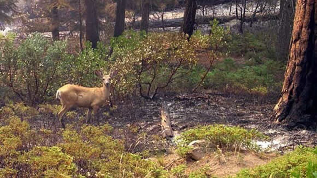 Deer returning to burned area