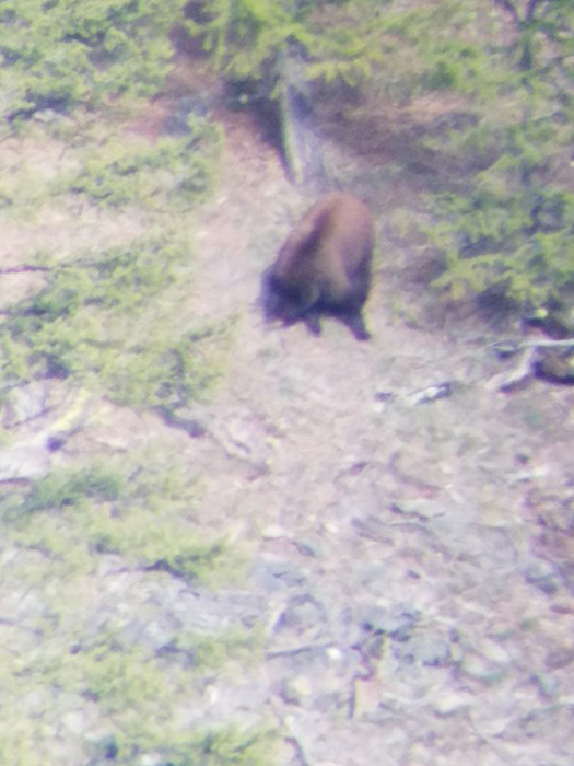 Digiscope photo of Montana black bear