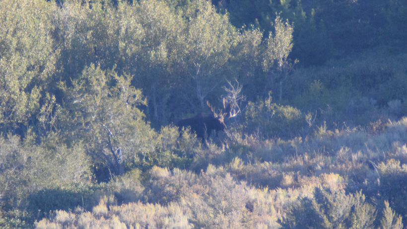 Digiscoping photo of an Idaho bull moose