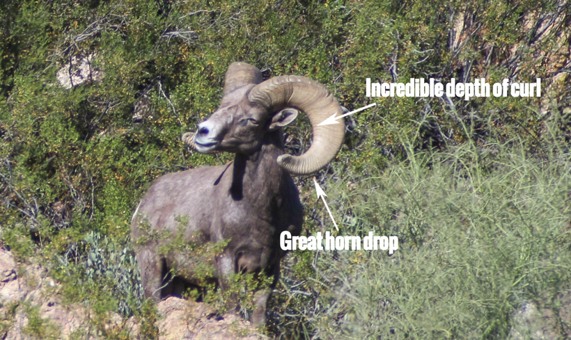 Dolly bighorn sheep showing depth of horn curl