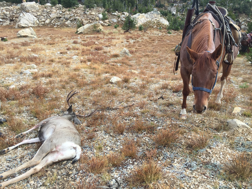Dragging a mule deer using a horse