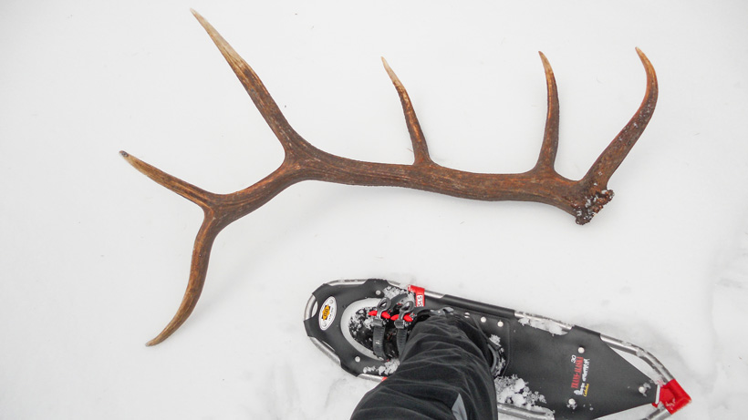 Elk shed antler in snow