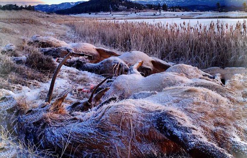 21 elk drown in Colorado