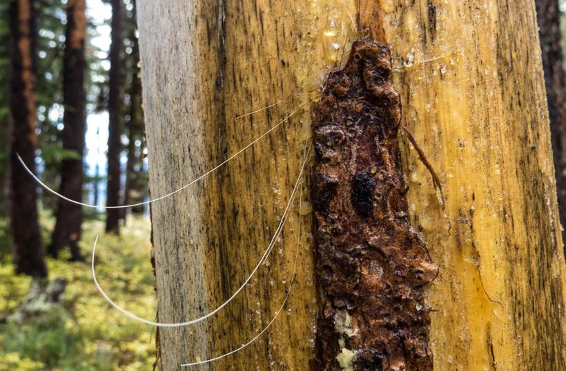 Elk hair on tree rub