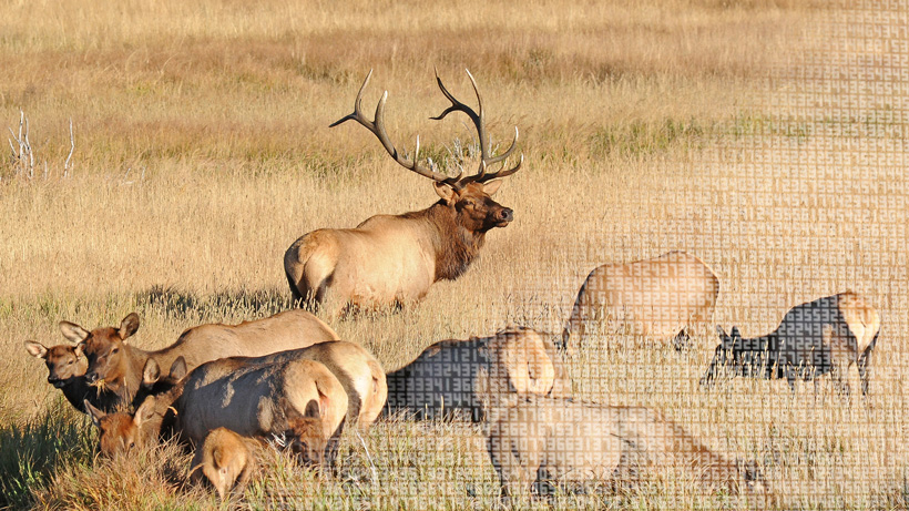 Elk populations across the west