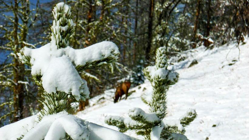 Elk standing in the snow
