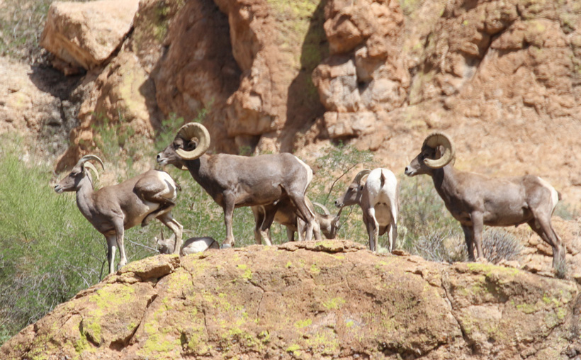 Examine body characteristics of bighorn sheep to determine horn size
