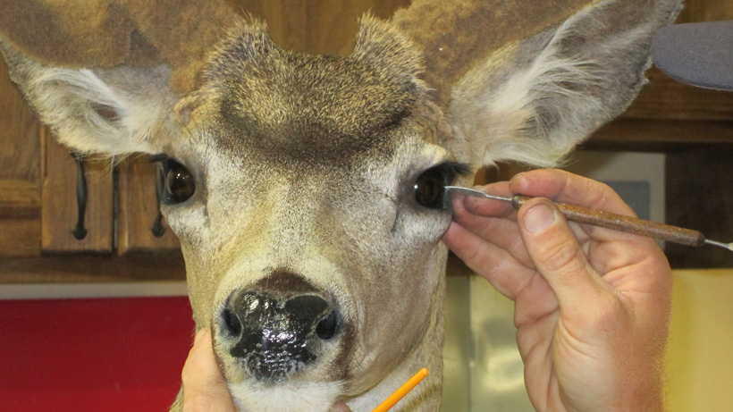 Examining the pupils of a deer mount