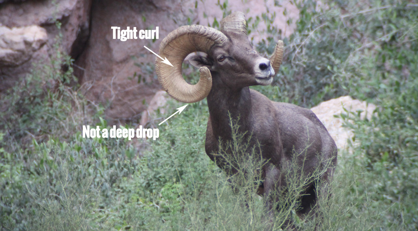 FC ram showing negative remarks on his horns