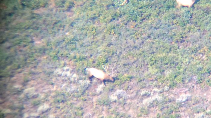 Field judging a bull elk