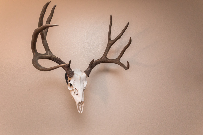 Diy taxidermy european skull mount gohunt finished european skull mount solutioingenieria Image collections