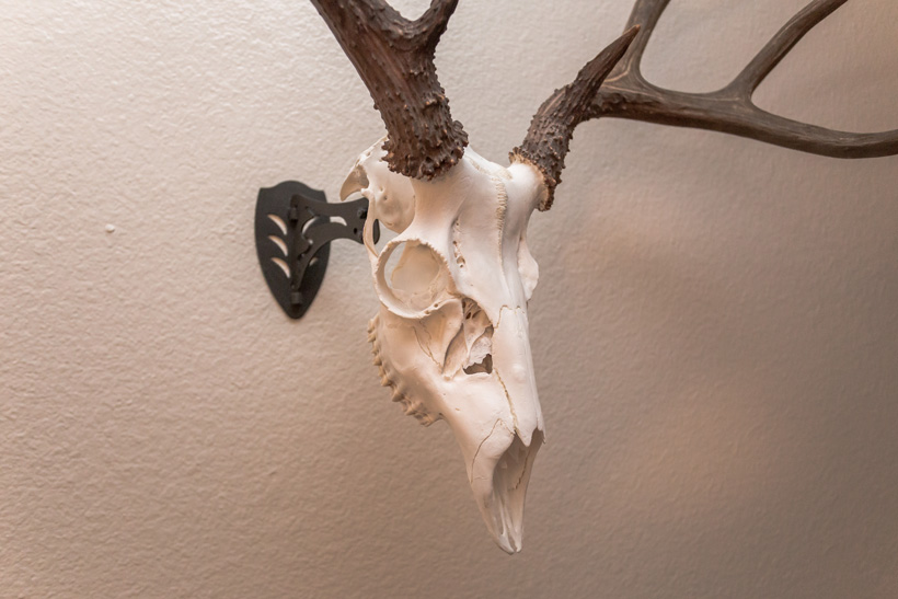 Diy Taxidermy European Skull Mount Gohunt