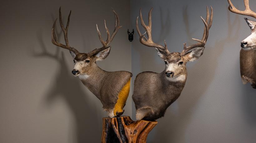Finished mule deer mounts