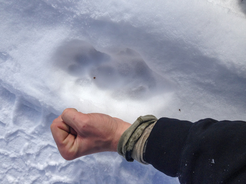 First mountain lion track located