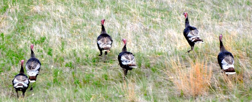Flock of western turkeys