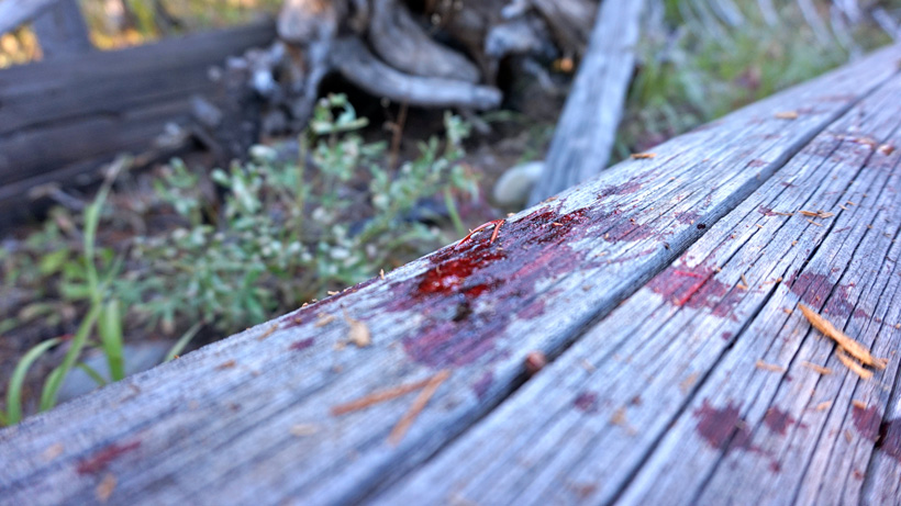 Following blood trail on a successful elk hunt