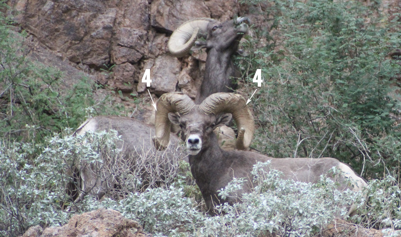 Four year annuli ring on bighorn sheep ram front view