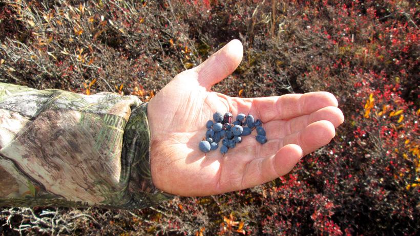 Fresh blueberries in Alaska