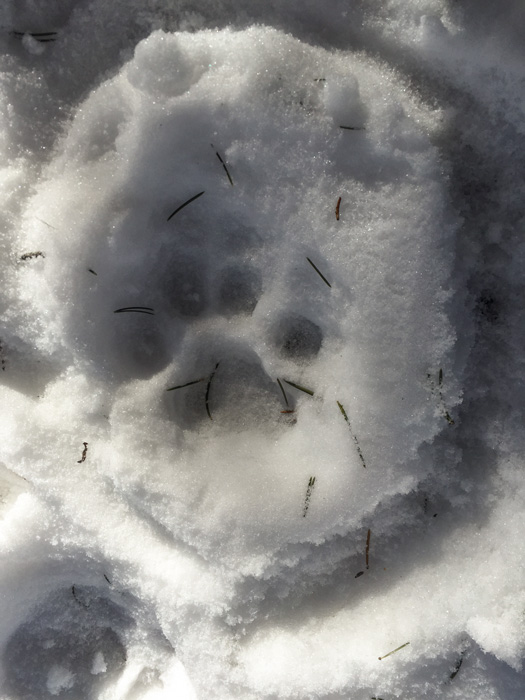 Fresh mountain lion track
