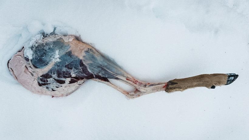 Freshly cut mule deer hindquarter