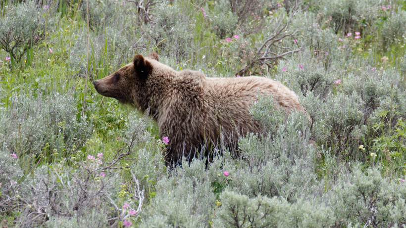 Bernhardt meets in Montana about grizzly delisting decision