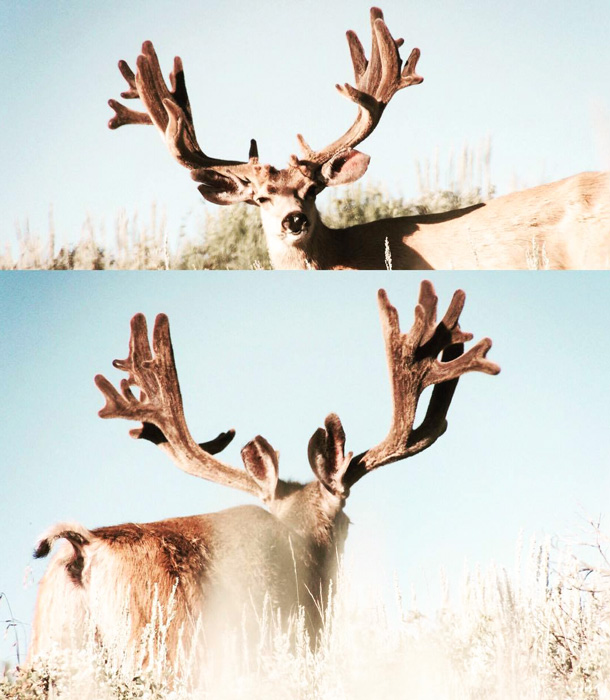 Front and back velvet view of the poached Hoback Wyoming mule deer buck