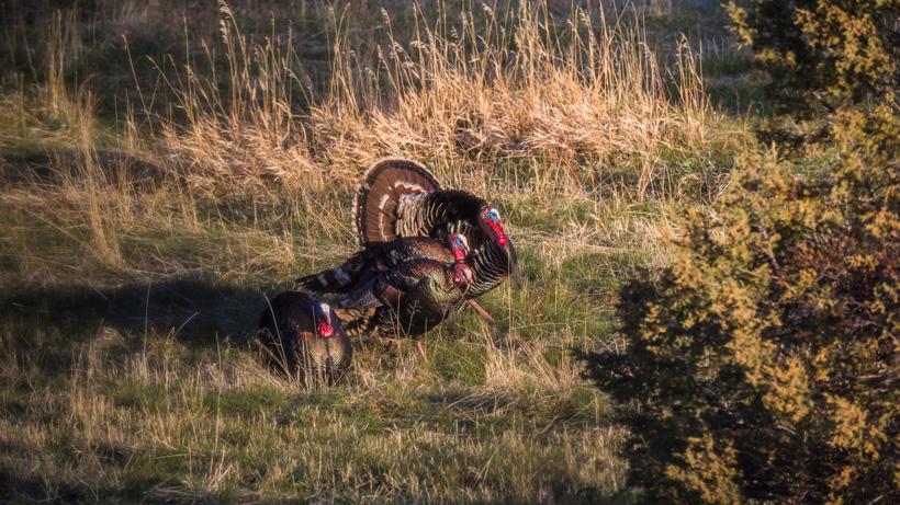 Full strut turkeys in spring