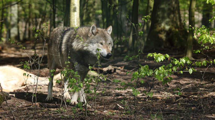 Genetic purity of mexican wolves