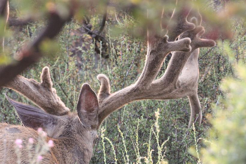 Large nontypical mule deer buck in velvet