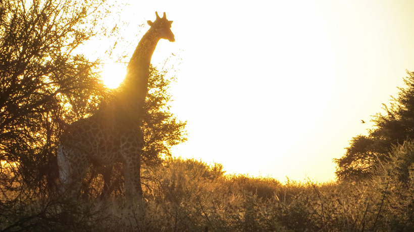 Giraffe with sunset