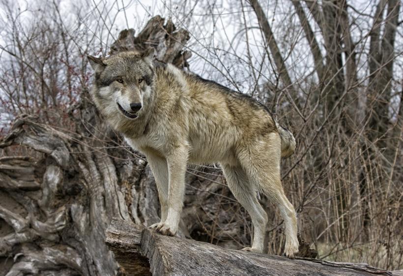 Gray wolf in Arizona