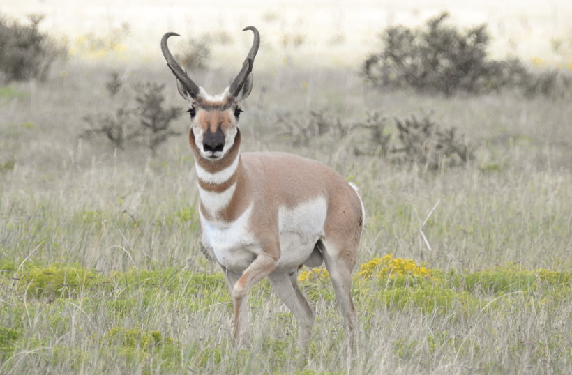 Great Colorado antelope buck