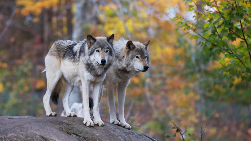 Court rules to put gray wolf back on Endangered Species list