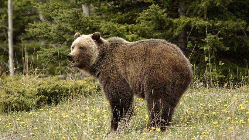 Grizzly bear in the summer