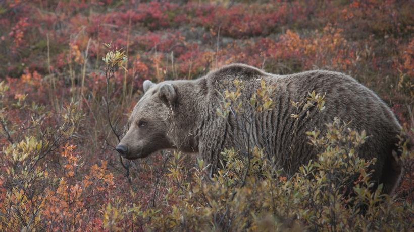 Grizzly bear in willows