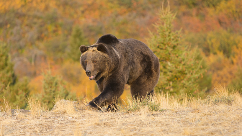 Grizzly bear killed by MFWP following attack