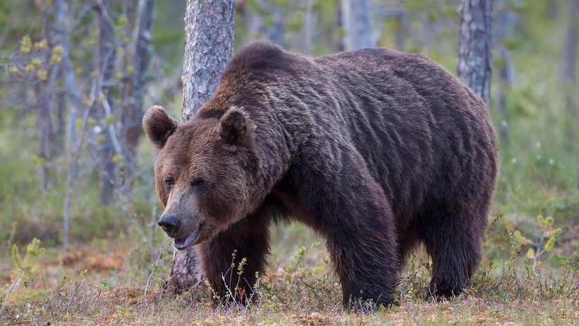 Grizzly bear protection challenged