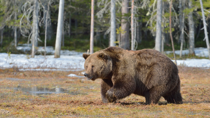 "Grizzly bear relocated after ""habituated behavior"" on private land"